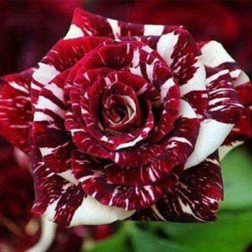 100pcs Rare Purple Adenium Obesum Seeds Indoor Bonsai Desert Rose Flower Seed