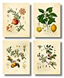 Ink Inc. Fruit Botanical Prints Vintage Wall Art Drawing, Lemon Apple Pomegranate Cherry, Set of 4, 8x10, Unframed