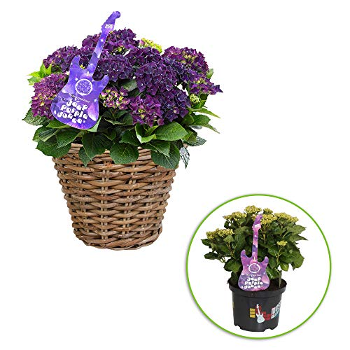 Hydrangea marcophylla 'Deep Purple' | Hortensie Lila | Inkl. Weidenkorb | Höhe 25-35cm | Korbgröße Ø30 cm