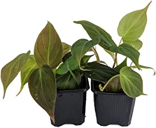 Rare Velvet Leaf Bronze Micans Vine - Philodendron - Easy to grow - 4