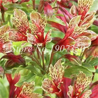 Shopmeeko Graines: Bonsai 100 Pcs Rare Bonsai Alstroemeria Beauté fleurs en pot Balcon Plantation Saisons Bonsai Color Mixed bonsaïs d'intérieur: 20