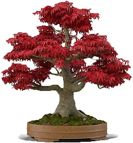 UEYR Arce Rojo japonés Bonsai 20 Semillas - Acer palmatum/Real Hermosa purificador de Aire Bonsai