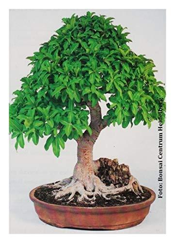 Bonsai-Lorbeerfeige/Zimmerbonsai - 20 Samen (Ficus microcarpa)