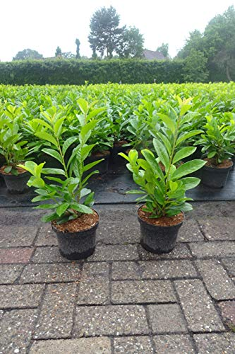 5st. Kirschlorbeer Rotundifolia 40-60cm im 3L.Topf buschige XXL Pflanzen Prunus laurocerasus Lorbeer schnellwachsend