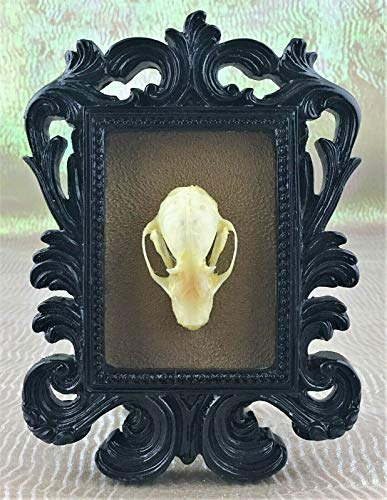 Real Bat Skull Cynopterus Brachyotis Framed Collectible Decor Taxidermy