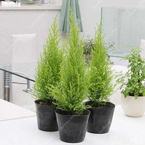 100pcs / sac importé Cypress graines Outdoor Platycladus Orientalis Thuya Plante Conifer Planta pour décor de jardin
