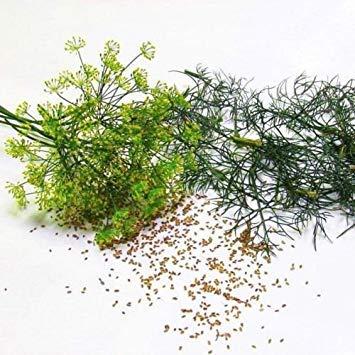 VISA STORE 500 Samen G124 Dill Bouquet Samen Easy Grow Supernahrungs Sprießen Microgreen