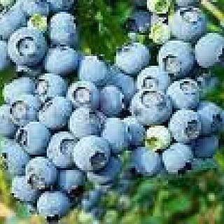 sharpblue blueberry
