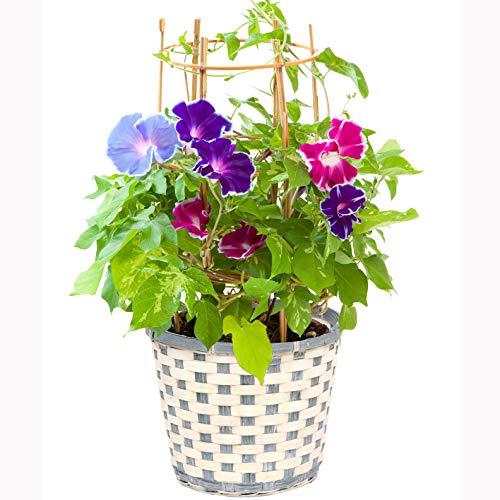 花のギフト社 朝顔鉢植え 朝顔の鉢植え 朝顔 朝顔市 鉢花 花鉢 あさがお アサガオ フラワーギフト