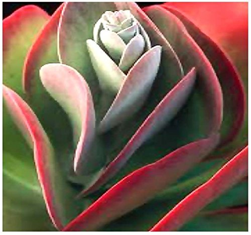 15 Seeds - Kalanchoe thyrsiflora Seeds - xeriscaping mesemb Succulenten