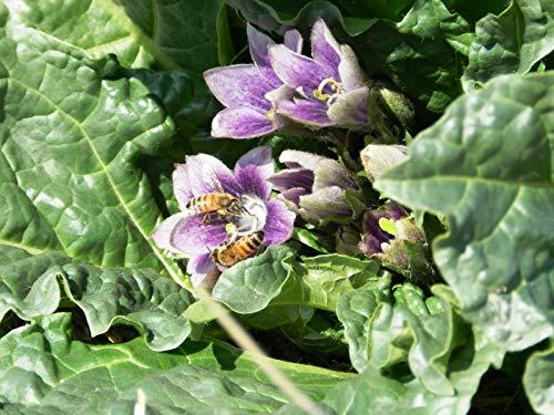 Portal Cool 10 Semillas Mandrake Negro - Mandragora Autumnalis - Botánico La curiosidad Samen