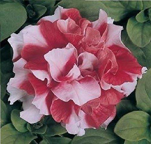 Il vous suffit de graines de fleurs???Petunia???Double Duo Rouge et blanc F1?150?graines en granul?s???Gros Lot