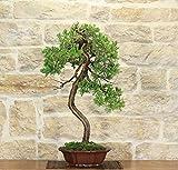 Juniper bonsai tree (15)
