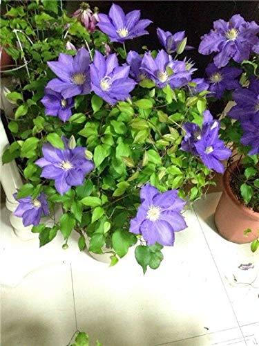 Kalash New 100pcs Clematis Blumensamen für Garten Licht violett
