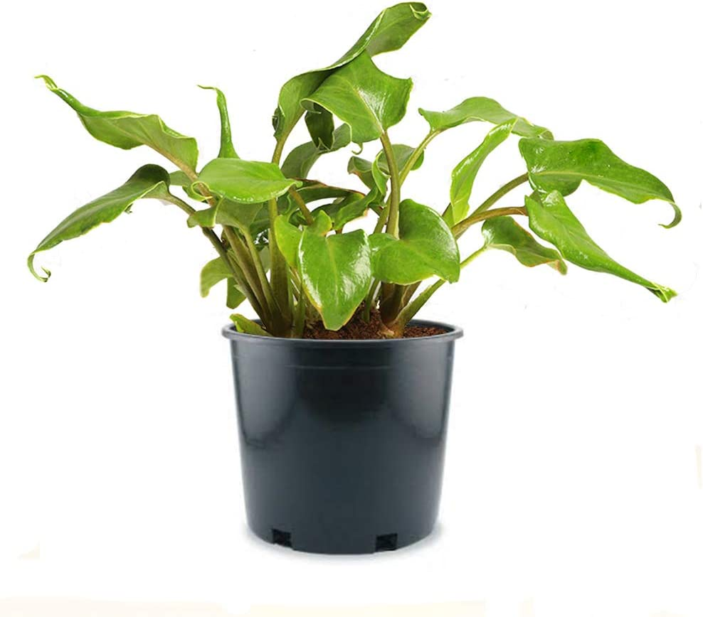 American Cheap Plant Exchange Xanadu Philodendron Easy Real Live Care In a popularity