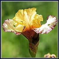 アイリス球根*切りたての花,園芸植物*豊かな色,中庭の緑化,風に揺れる鉢植え様々なタイプ甘い-5 球根,Yellow