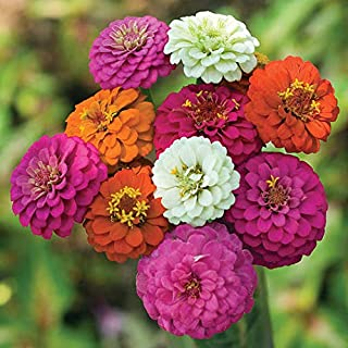 David's Garden Seeds Flower Zinnia Mixed Colors Thumbelina LZ3421 (Multi) 100 Non-GMO, Heirloom Seeds