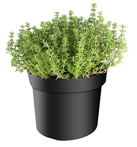mgc24 Thymian, Faustini, frische Gärtnerqualität, mediterran, Küchenkräuter im 14er Topf, winterhart, mehrjährig, perfekt für den Kräutergarten, 3 Pflanzen