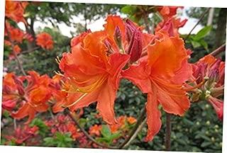 DAG 1 Bare Root Starter Plant Azalea 'Mandarin Lights' Fragrant Plant - RK310