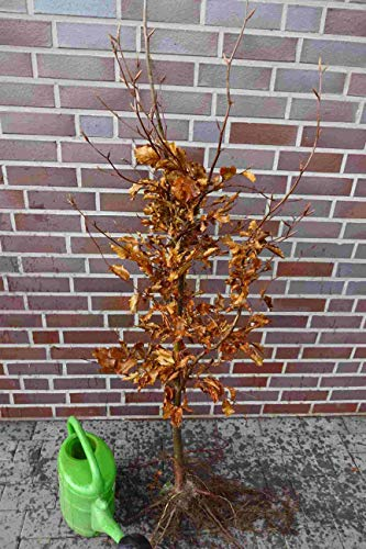25st. Hainbuchen 80-120cm Heckenpflanzen Carpinus betulus Gartenhecke Wurzelware
