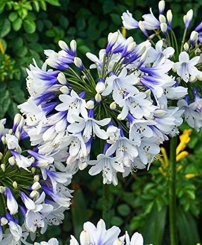 FERRY Bio-Saatgut Nicht nur Pflanzen: Agapanthus 'Twister' Lily