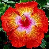 Eden-blumen 100 Stücke Riesen Hibiskus Pflanze Winterhart Samen Hibiskus Mehrjährige Blume Für Vorgarten/Steingarten (11)