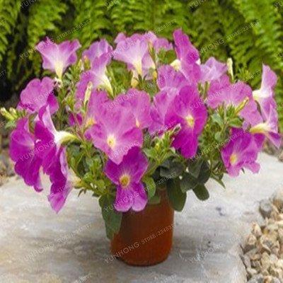 Escalade Pétunia Graines de fleurs Jardin Bonsai Balcon Petunia hybrida semences de fleurs de 20 espèces Bonsai plante facile à cultiver 100 Pcs 1