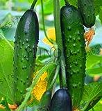 30Pcs cetriolo Semi Previsioni Mini cetriolo semi di ortaggi organici No OGM Seeds Per quanto riguarda il giardino domestico, Uaqhle: 5