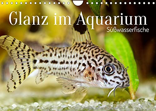 Glanz im Aquarium: Süßwasserfische (Wandkalender 2022 DIN A4 quer)