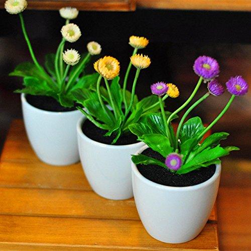 100 graines de marguerite Livingstone Daisy Graines graine fleur jaune variété complète le taux de 95% en herbe Plantes Vivaces 3 Potted