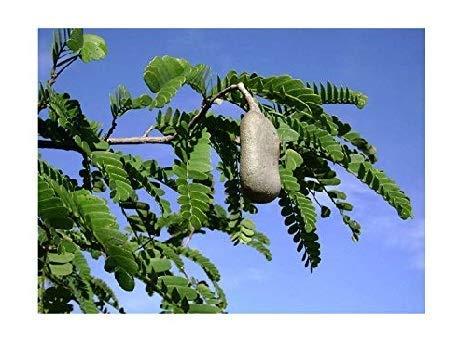 Saure Tamarinde Tamarindus indica Pflanze 15-20cm indische Dattel Tamarindenbaum
