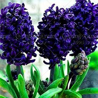 Las nuevas 100 PC/bolsa de jacinto de flores en maceta de Bonsai (bulbo no jacinto) Holanda hidropónico flor al aire libre Bonsai s para el azul oscuro Jardín Inicio (sólo semillas)