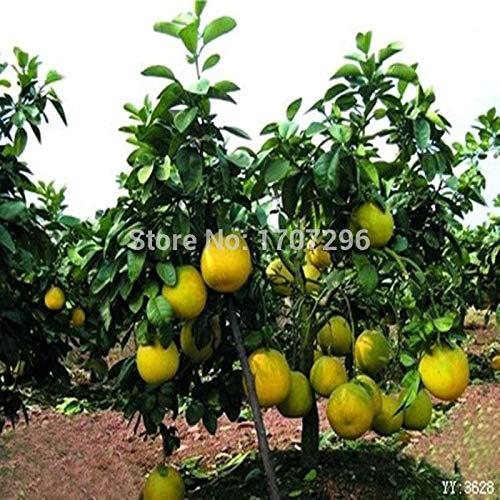 Portal Cool Graines Bonsai fruits rares naines ARBRES de pépins de Pamplemousse 10 pièces S GRAINES Livraison gratuite