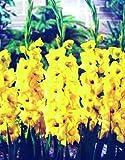 10 gladioli novalux mis. 12/14