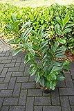 15st. Kirschlorbeer Novita 60-80cm im 3L. Topf immergrün Prunus laurocerasus Lorbeer Gartenhecke Sichtschutz Sehr buschige Pflanzen