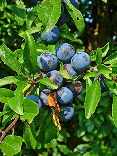 Schlehdorn Prunus spinosa Pflanze 70-80cm Schlehe Schwarzdorn Sauerpflaume
