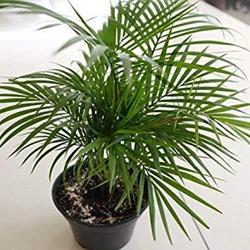Shoppy Star Shoppy étoiles: Chamaedorea seifrizii Graines, (5 graines) Bamboo Palm, Palm Reed, Bamboo Palm de Seifriz. beauté tropicale pour intérieur et extérieur