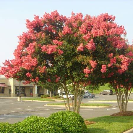 Qulista Samenhaus - Rarität Indianer Flieder rot, Blüht drei Monate lang, Ziergehölze Baumsamen Blumensamen winterhart mehrjärhig