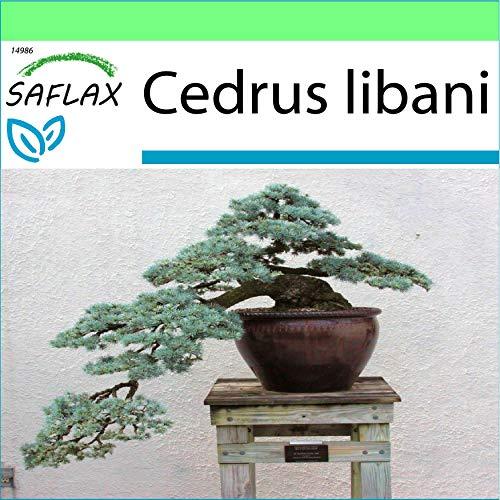 SAFLAX - Jardin dans la boîte - Cèdre du Liban - 20 graines - Cedrus libani