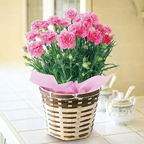 Shopvise 100 Pcs/Sac Carnation Graine Fleur Graine Balcon Jardin Fleurs Graines Dianthus caryophyllus semences Facile à cultiver: 3