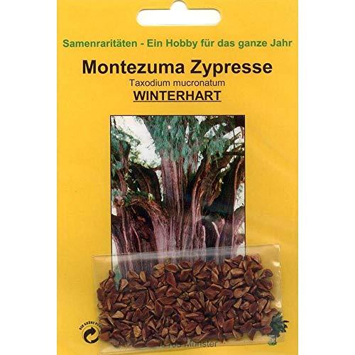 Bonsai - 60 Samen Taxodium mucronatum, Montezuma Zypresse, 90042
