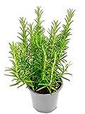 Xl Rosmarin Pflanze Rosmarius officinalis Kräuter Pflanzen 1 stk.