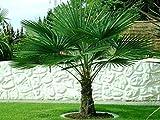 Seltene Palmen Kreuzung Trachycarpus Fortunei/Wagnerianus bis 160 cm. Frosthart bis - 18 Grad Celsius
