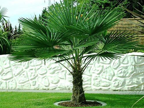 Csl sunrise GmbH -  Trachycarpus