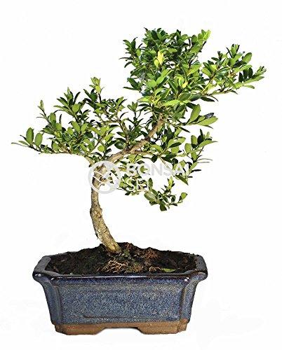 Bonsai - Acebo, 7 Años (Bonsai Sei - Ilex Microphylla)