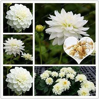 WANCHEN 2 Bulb True White Dahlia Bulbs Flower,Bonsai Flower Bulb,Symbolizes Courage and Lucky,Home Garden Plant-(Not Dahlia Seeds)
