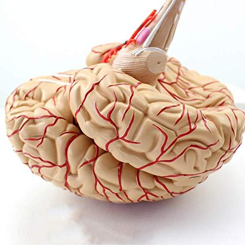 HYLH Modelo Educativo Modelo Modelo de Cerebro Modelo anatómico de arteria Cerebral - Multicolor extraíble 8 Partes Cerebro Modelo anatómico de Corteza Cerebral