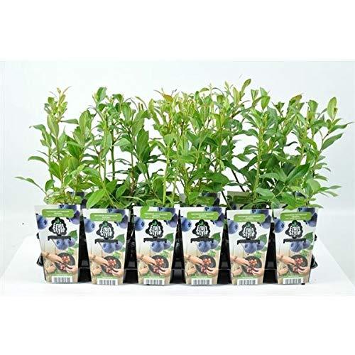 Heidelbeere - Vaccinium corymbosum 'Goldtraube 71' P9 30-35 cm