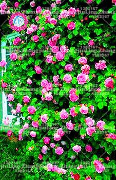 100pcs rare lumière rue rose graines de bonsaï, rose graines graines de fleurs bonsaï graines exotiques jardin Décor plante en pot pour le jardin de la maison 10