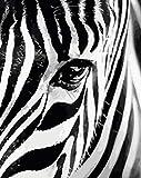 Pintura por Números, Animal Cebra DIY Pintar por Numeros para Adultos Niños con Pinceles y Pinturas, Lienzo Regalo de Pintura para Adultos Mayores (40*50cm Sin Marco)